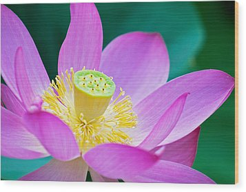 Purple Lotus Blossom Wood Print by Michael Porchik