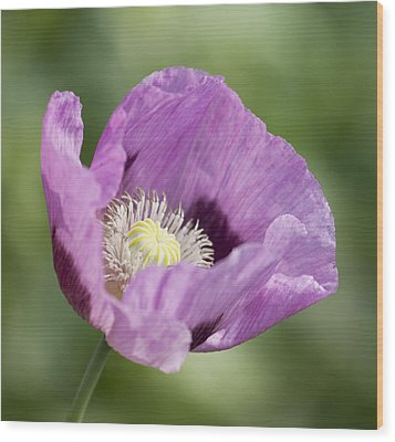 Purple Poppy Wood Print