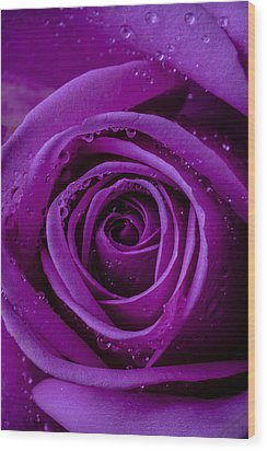 Purple Rose Close Up Wood Print by Garry Gay