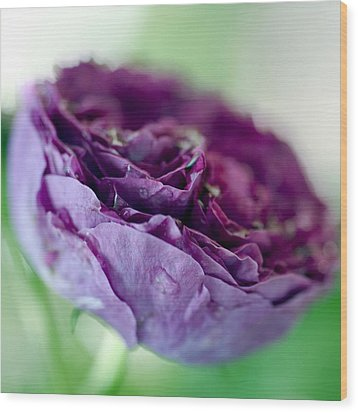 Purple Rose Wood Print by Frank Tschakert