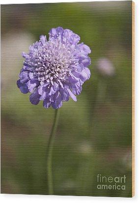 Purple Scabious Columbaria Wood Print by Tony Cordoza