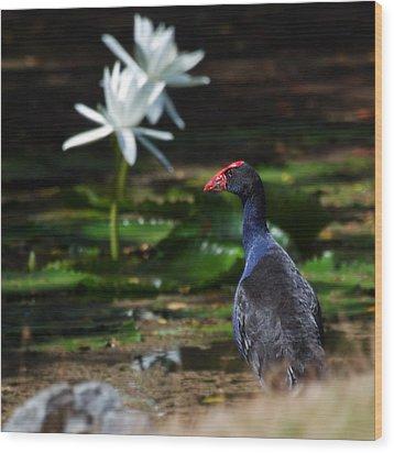 Purple Swamphen Admiring The Water Lilies Wood Print by Mr Bennett Kent