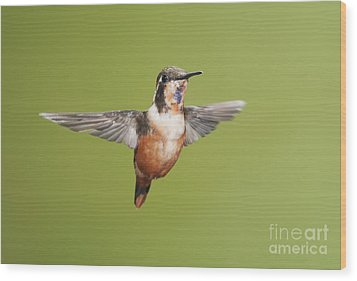 Wood Print featuring the photograph Purple-throated Woodstar Hummingbird by Dan Suzio