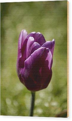 Purple Tulip Wood Print by Donna Stiffler