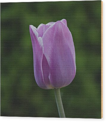 Purple Tulip Wood Print by Sandy Keeton