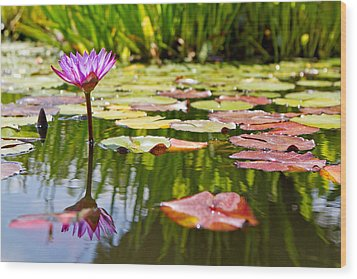 Purple Water Lily Flower In Lily Pond Wood Print by Susan Schmitz