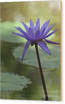 Purple Water Lily In The Shade Wood Print by Sabrina L Ryan