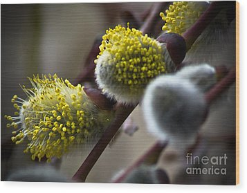 Pussy Willow 5 Wood Print