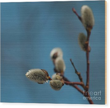 Pussy Willow... Wood Print