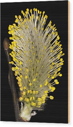 Pussy Willow Stamens Wood Print