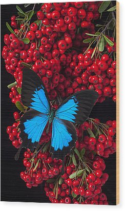 Pyracantha And Butterfly Wood Print by Garry Gay