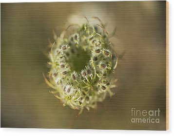 Queen Anne's Lace Going To Seed Wood Print by Charmian Vistaunet