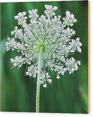 Wood Print featuring the photograph Queen Ann's Lace by Al Fritz