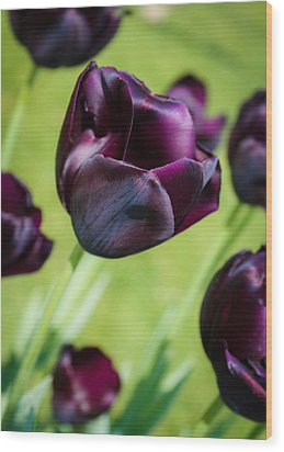 Queen Of The Night Black Tulips Wood Print by Peta Thames