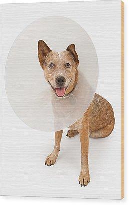 Queensland Heeler Dog Wearing A Cone Wood Print by Susan Schmitz