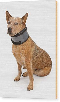 Queensland Heeler Dog Wearing A Neck Brace Wood Print by Susan Schmitz
