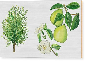 Quince Tree Wood Print by Anonymous