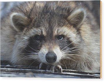 Raccoon -p Wood Print