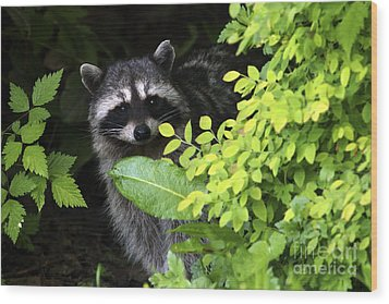 Raccoon Peek-a-boo Wood Print by Sharon Talson