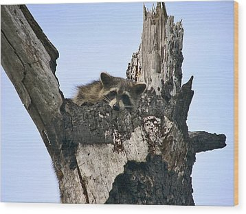 Raccoon Waiting. Lake Marion Creek W.m.a. Wood Print