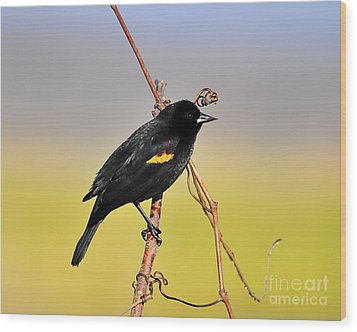 Radiant Red-winged Wood Print by Al Powell Photography USA