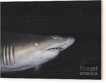 Ragged-toothed Shark In Aquarium Wood Print by Sami Sarkis