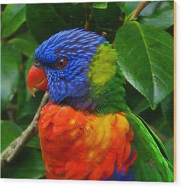 Rainbow Lorikeet Deep In Thought Wood Print