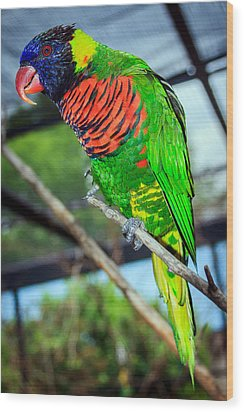 Wood Print featuring the photograph Rainbow Lory by Sennie Pierson