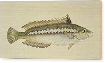 Rainbow Wrasse Wood Print by E Donovan and FC and J Rivington