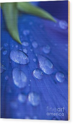 Raindrop Pansy Wood Print by Anne Gilbert