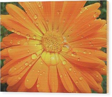 Raindrops On Orange Daisy Flower Wood Print by Jennie Marie Schell