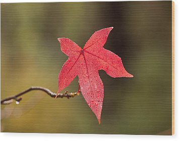 Raindrops On Red Fall Leaf Wood Print by Michelle Wrighton