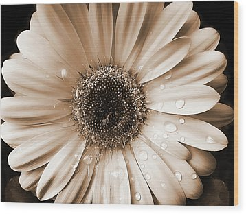 Raindrops On Gerber Daisy Sepia Wood Print by Jennie Marie Schell