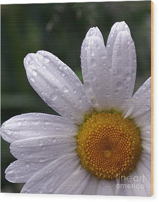 Rainy Day Daisy Wood Print by Kevin Fortier