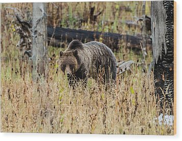 Wood Print featuring the photograph Rainy Day Grizzly Sow by Yeates Photography