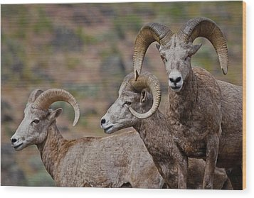 Rams In Three Wood Print by Athena Mckinzie