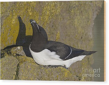 Razorbill Wood Print by John Shaw