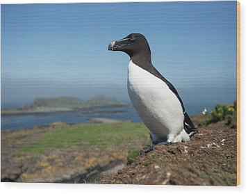 Razorbill On A Coastal Ledge Wood Print by Simon Booth