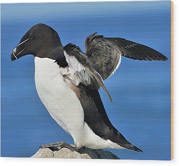 Razorbill Wood Print by Tony Beck