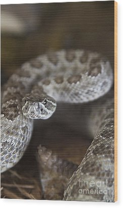 A Rattlesnake Thats Ready To Strike Wood Print