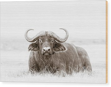 Reclining Buffalo With Oxpecker Wood Print