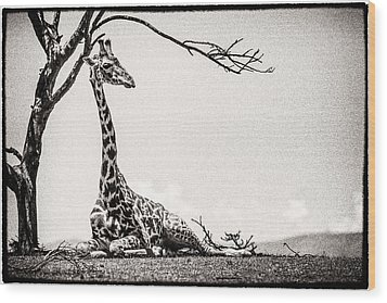 Wood Print featuring the photograph Reclining Giraffe Sepia by Mike Gaudaur