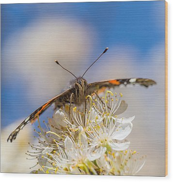 Red Admiral Butterfly On Plum Blossoms Wood Print