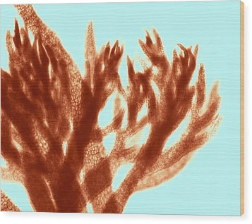Red Algae, Light Micrograph Wood Print by Science Photo Library