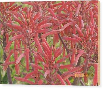 Red Aloe Blooms Wood Print by Belinda Lee