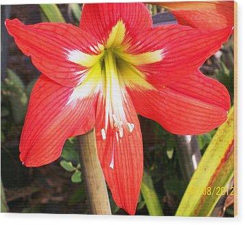 Red Amarylis Wood Print by Belinda Lee