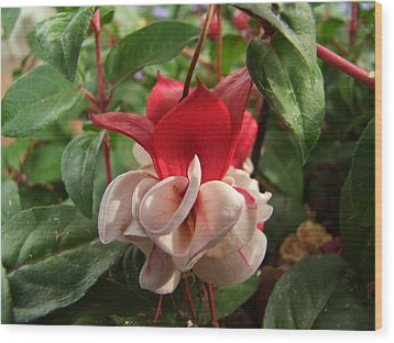 Red And White Fuschia Wood Print by Ron Roberts