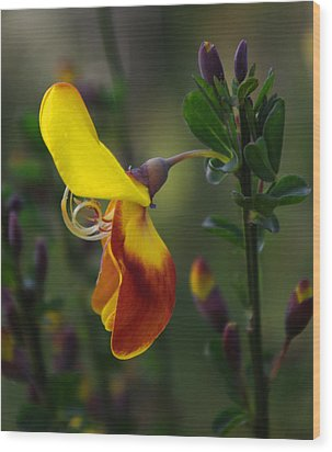 Wood Print featuring the photograph Red And Yellow Scotchbroom by Adria Trail