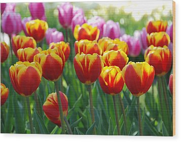 Wood Print featuring the photograph Red And Yellow Tulips  by Allen Beatty