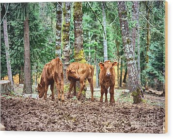 Red Angus Calves Wood Print by Larry Campbell